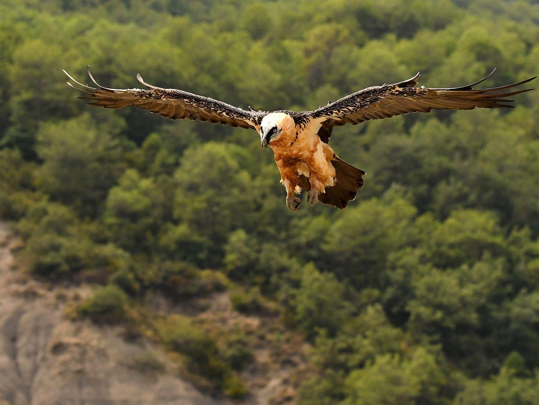 Quebrantahuesos adulto en vuelo