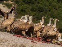 Grupo de buitres leonados accediendo al punto de alimentación